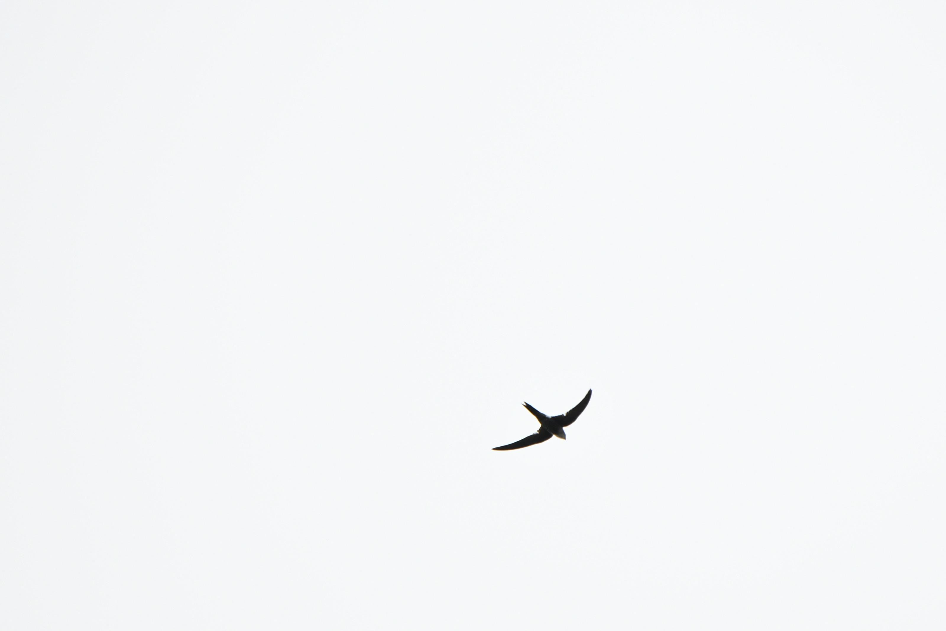 アマツバメ