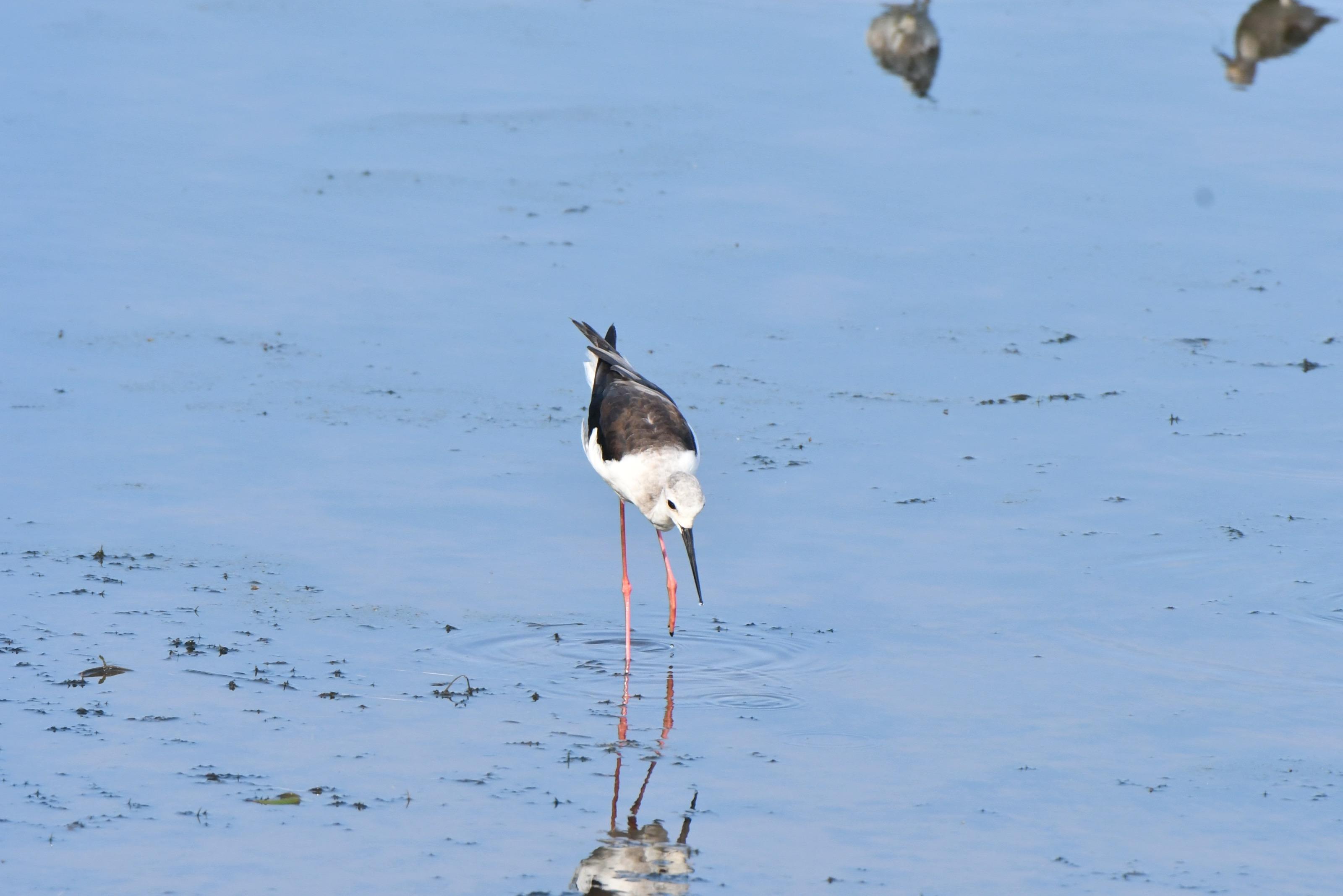 セイタカシギ 幼鳥