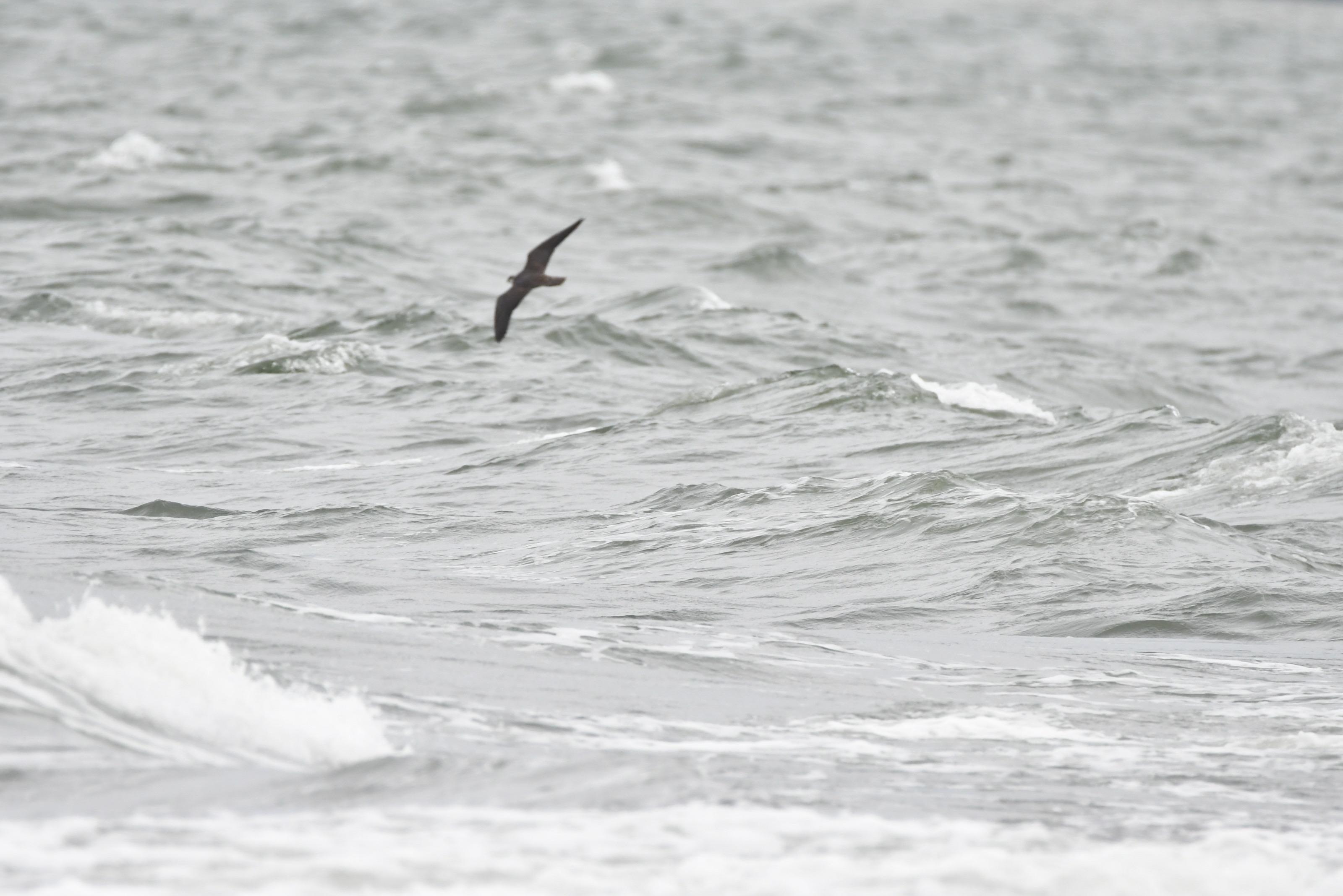 海の上を飛ぶチゴハヤブサ2