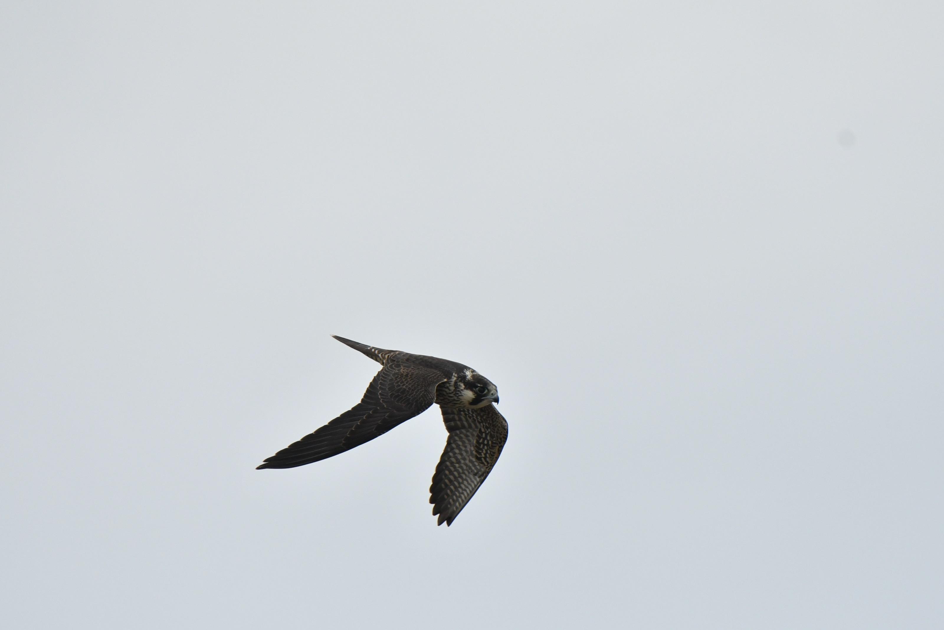 ミユビシギの群れに突っ込むハヤブサ若鳥