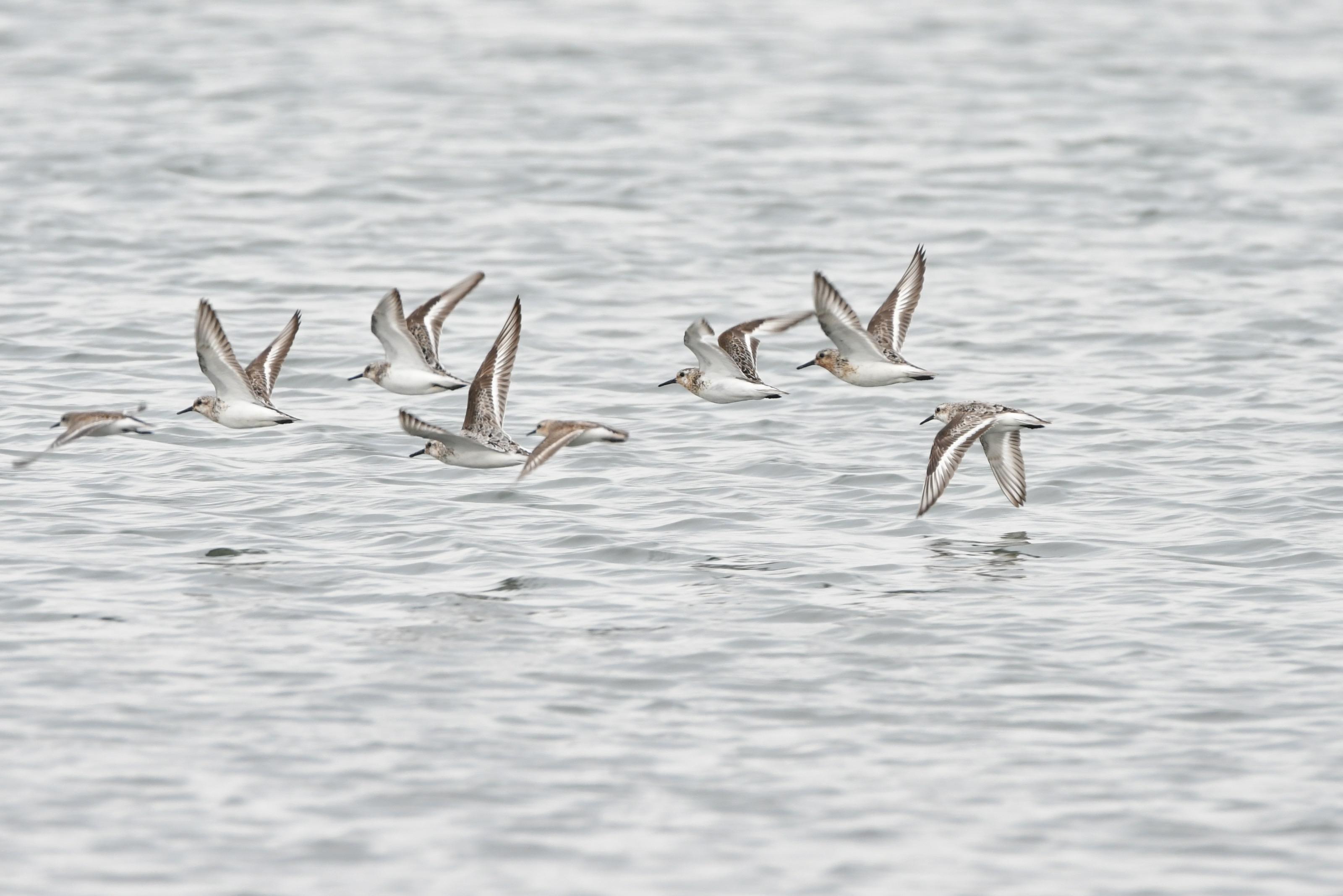 飛翔するミユビシギ夏羽たち