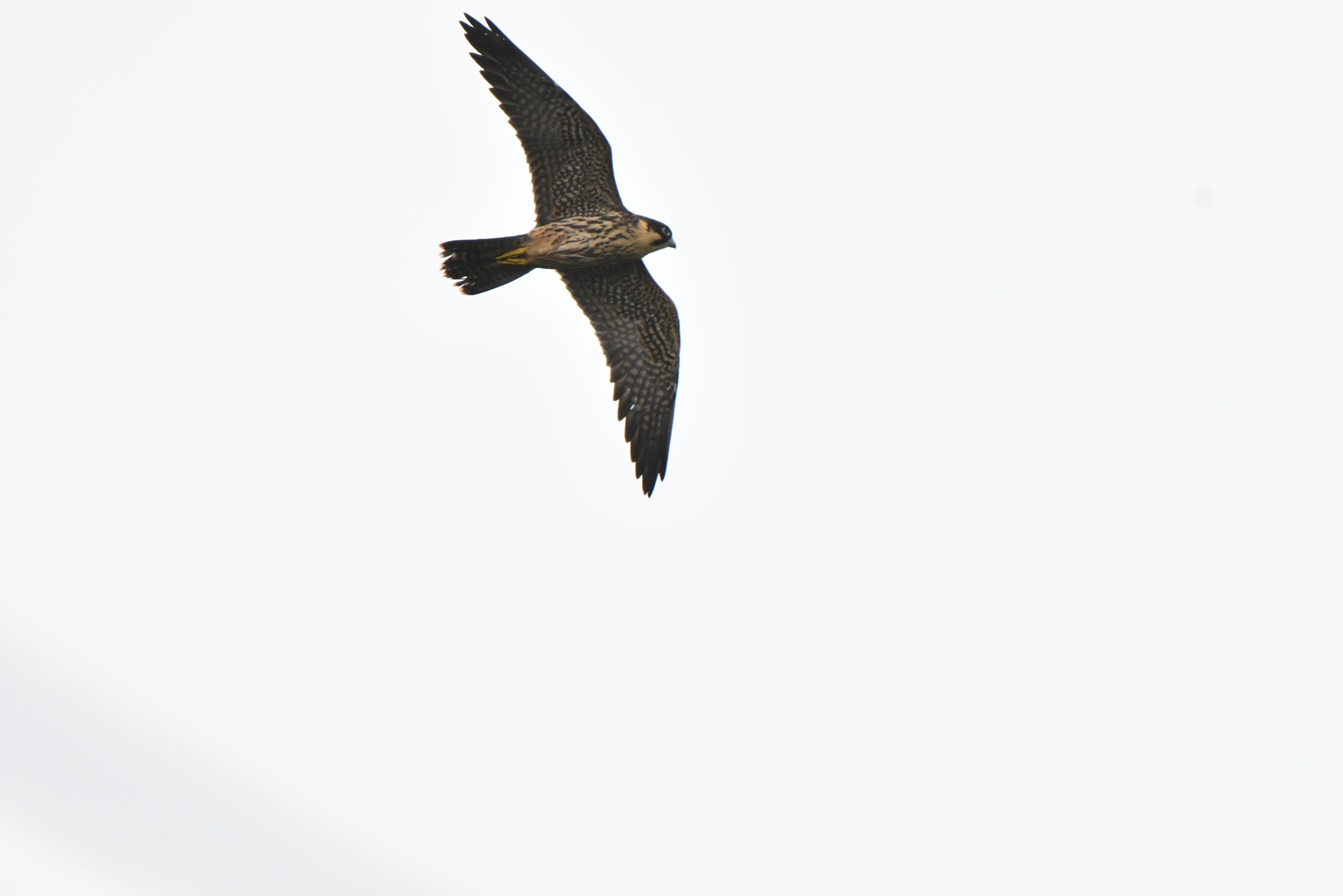 飛翔できるようになったチゴハヤブサ幼鳥
