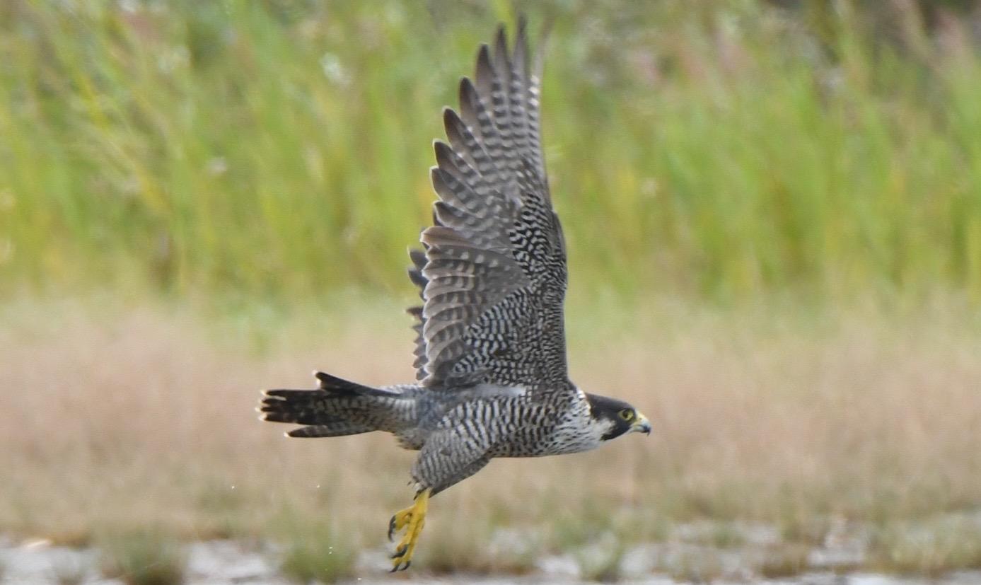 ハヤブサ 若い個体飛翔