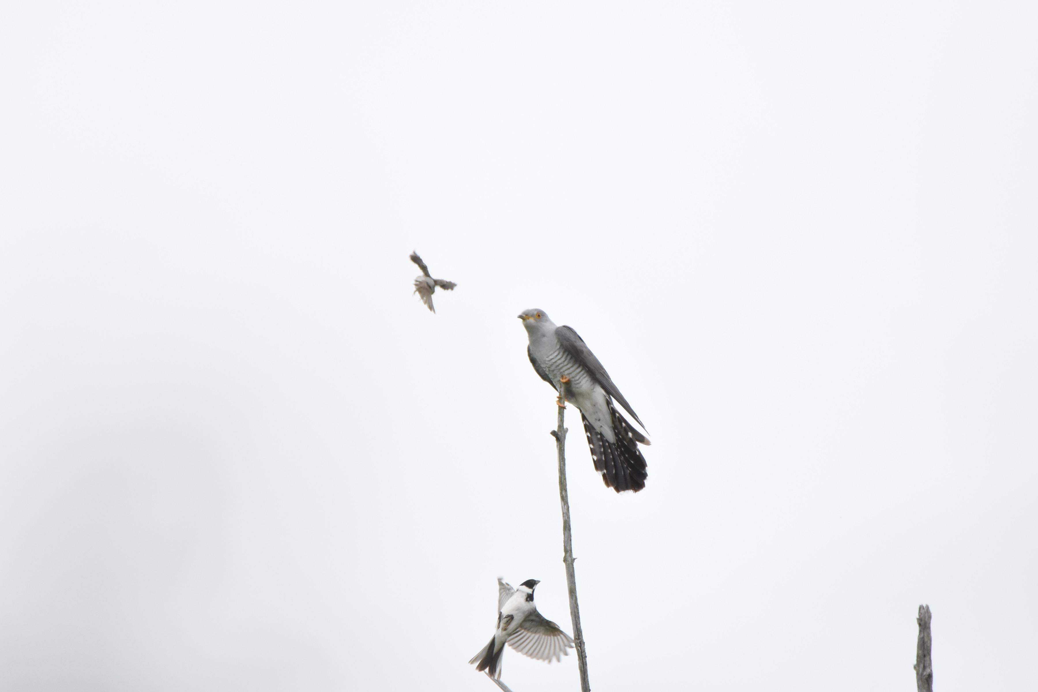 カッコウと戦う野鳥たち