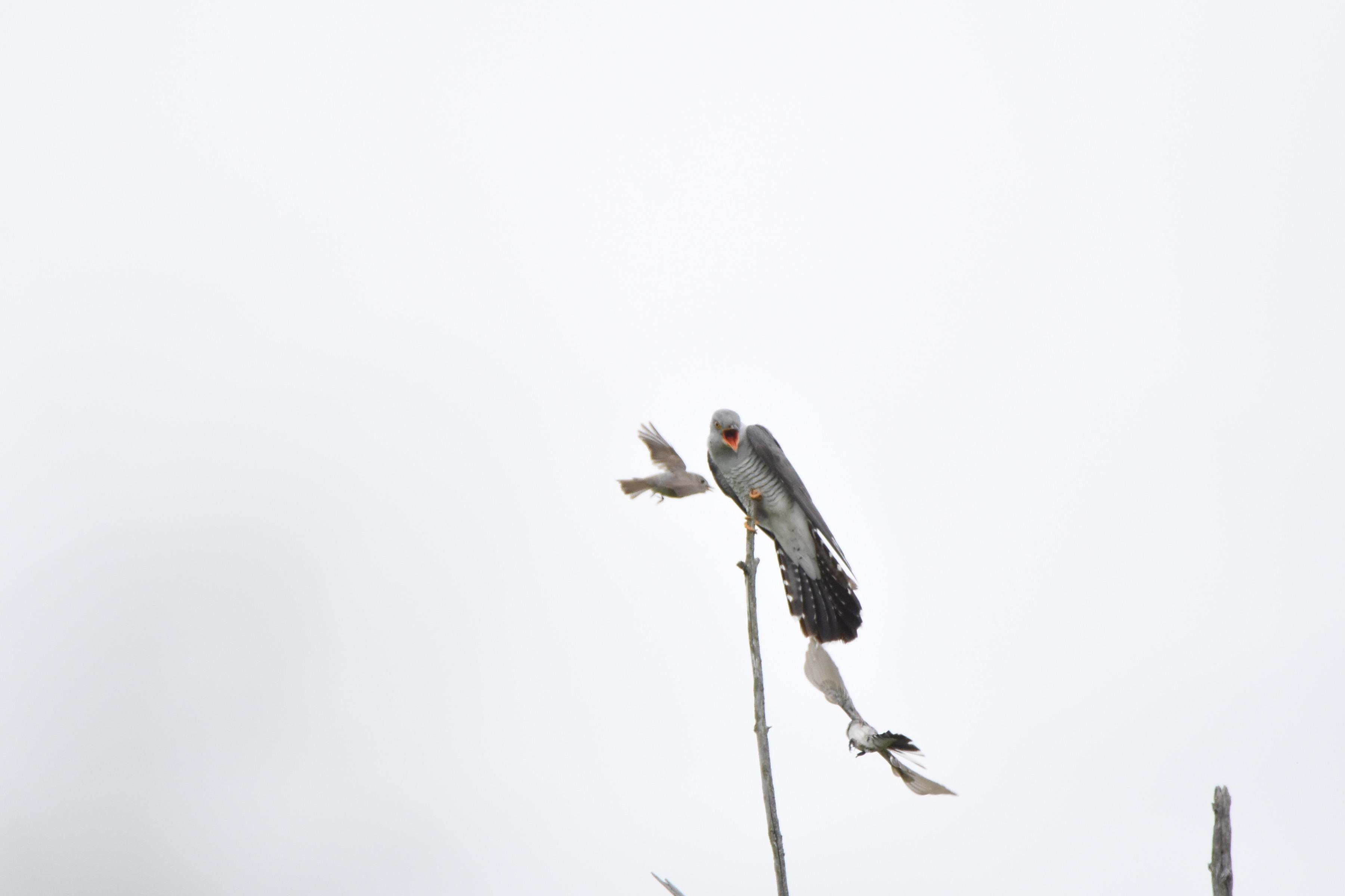 カッコウと戦う野鳥たち2