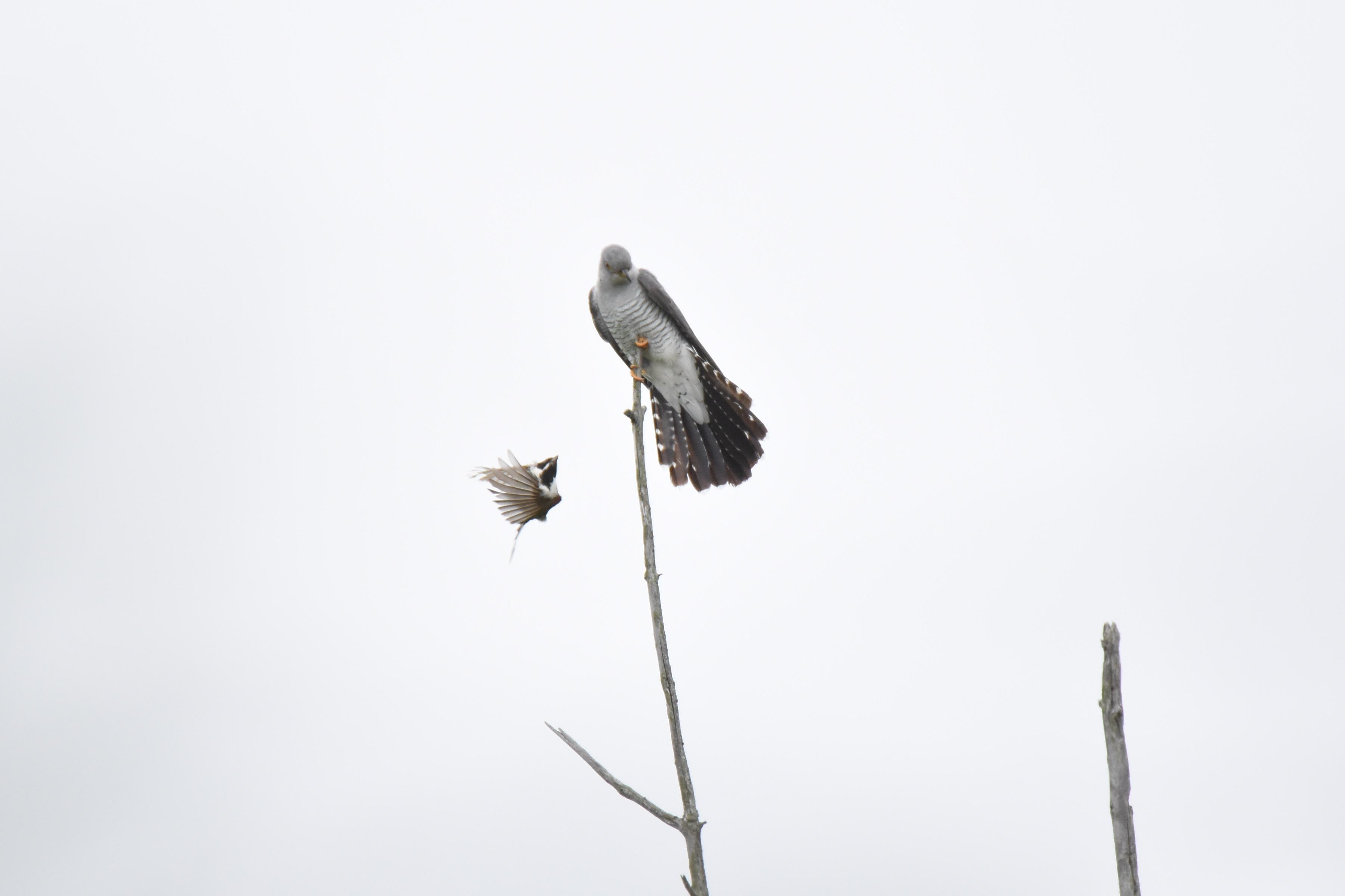 カッコウと戦う野鳥たち4
