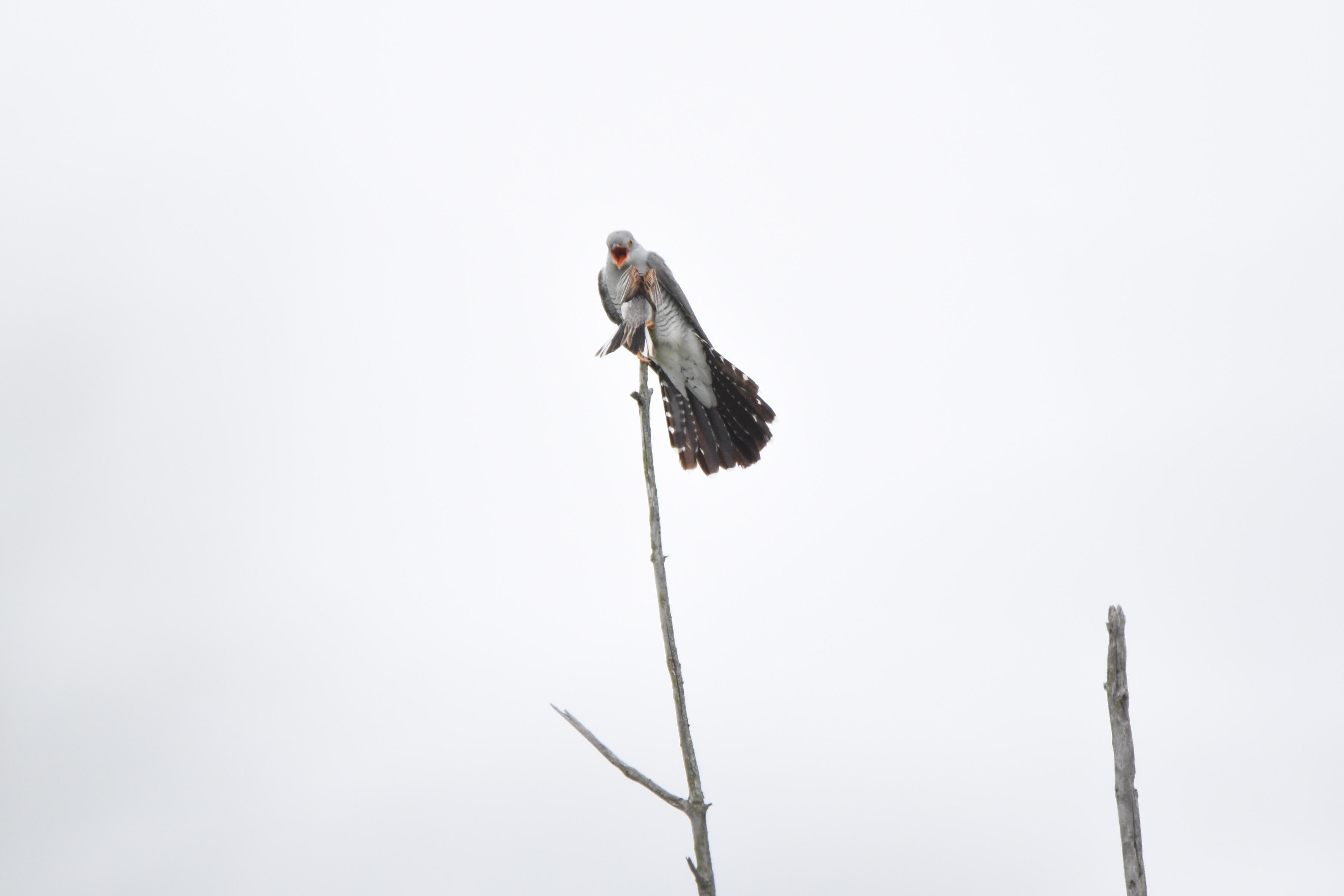 カッコウと戦う野鳥たち5