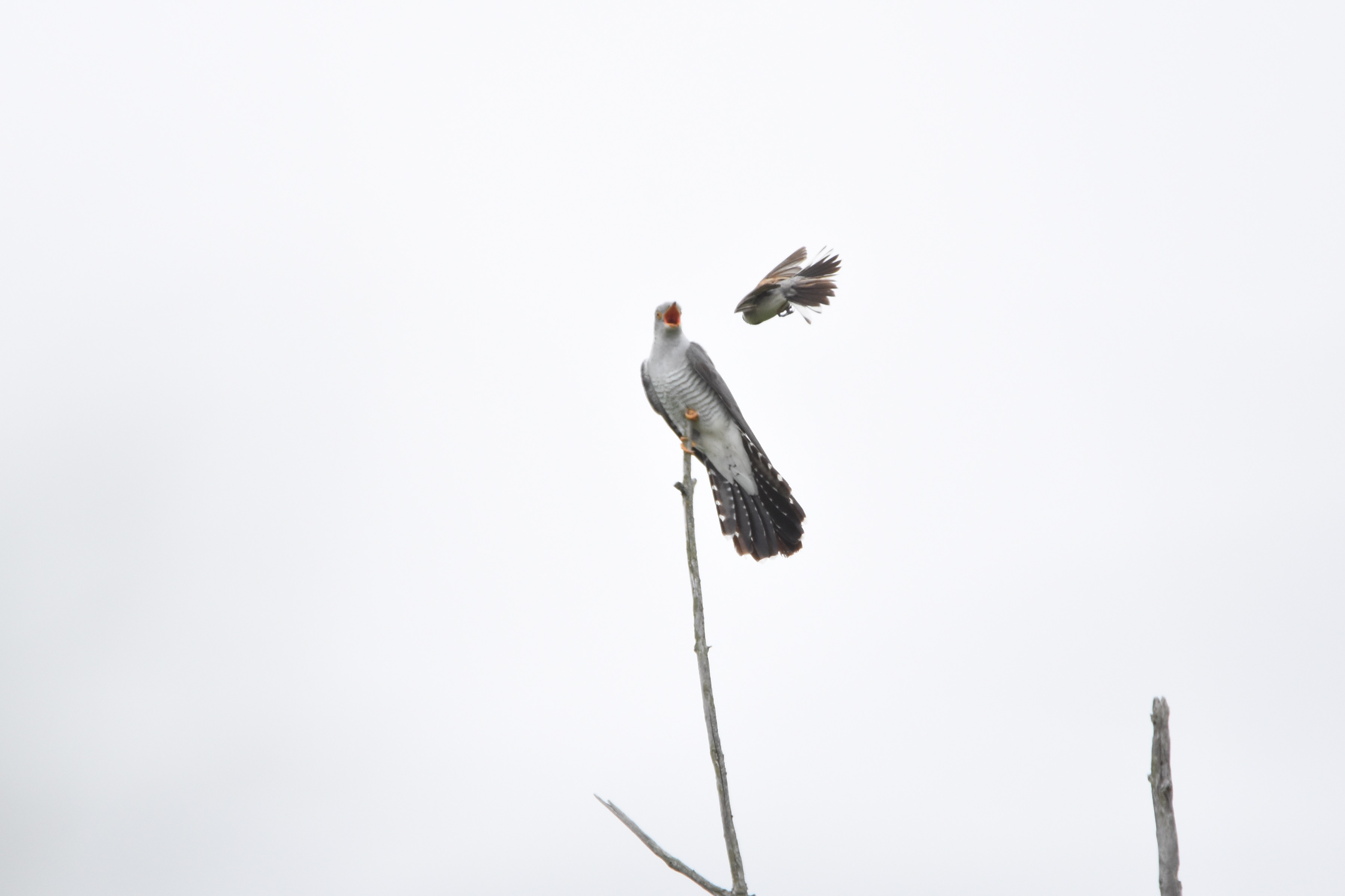 カッコウと戦う野鳥たち6