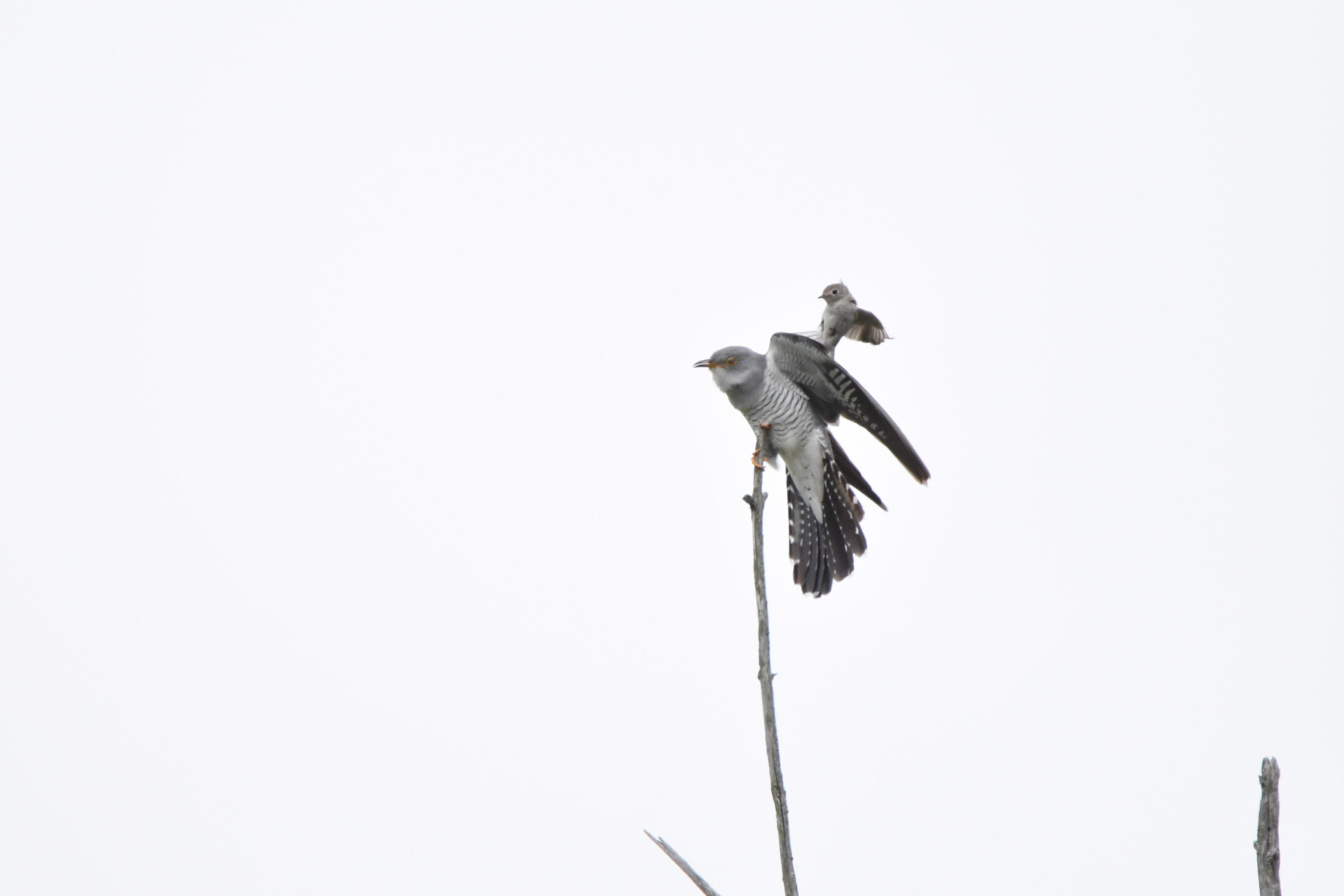 カッコウと戦う野鳥たち9