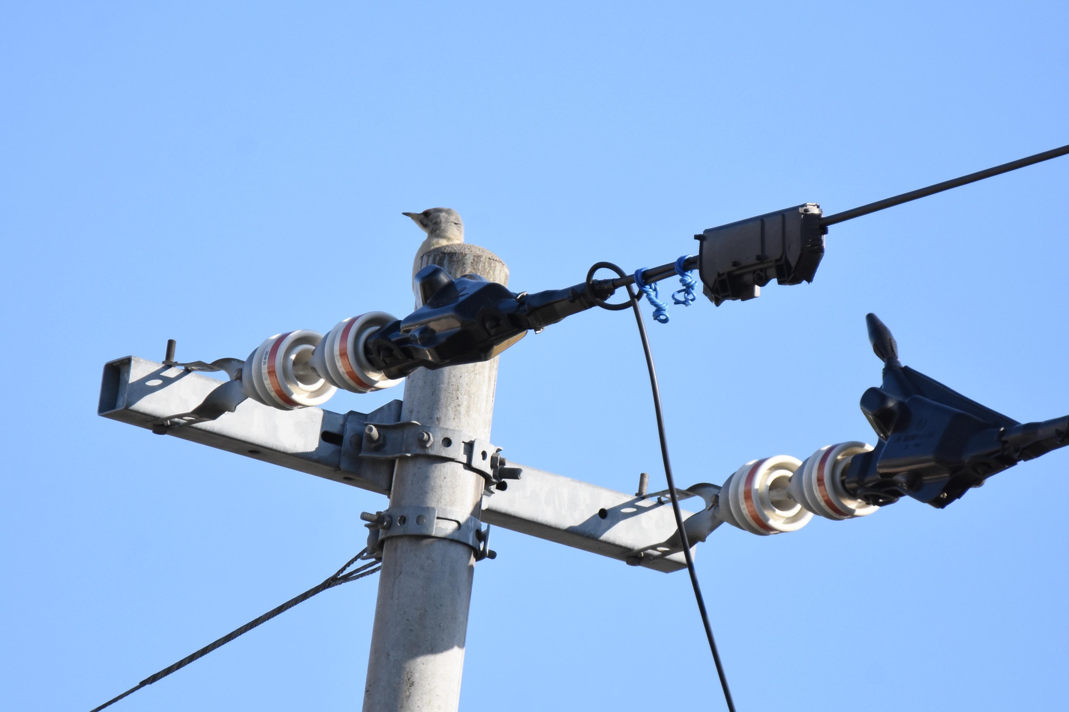 電柱で鳴くヤマゲラ