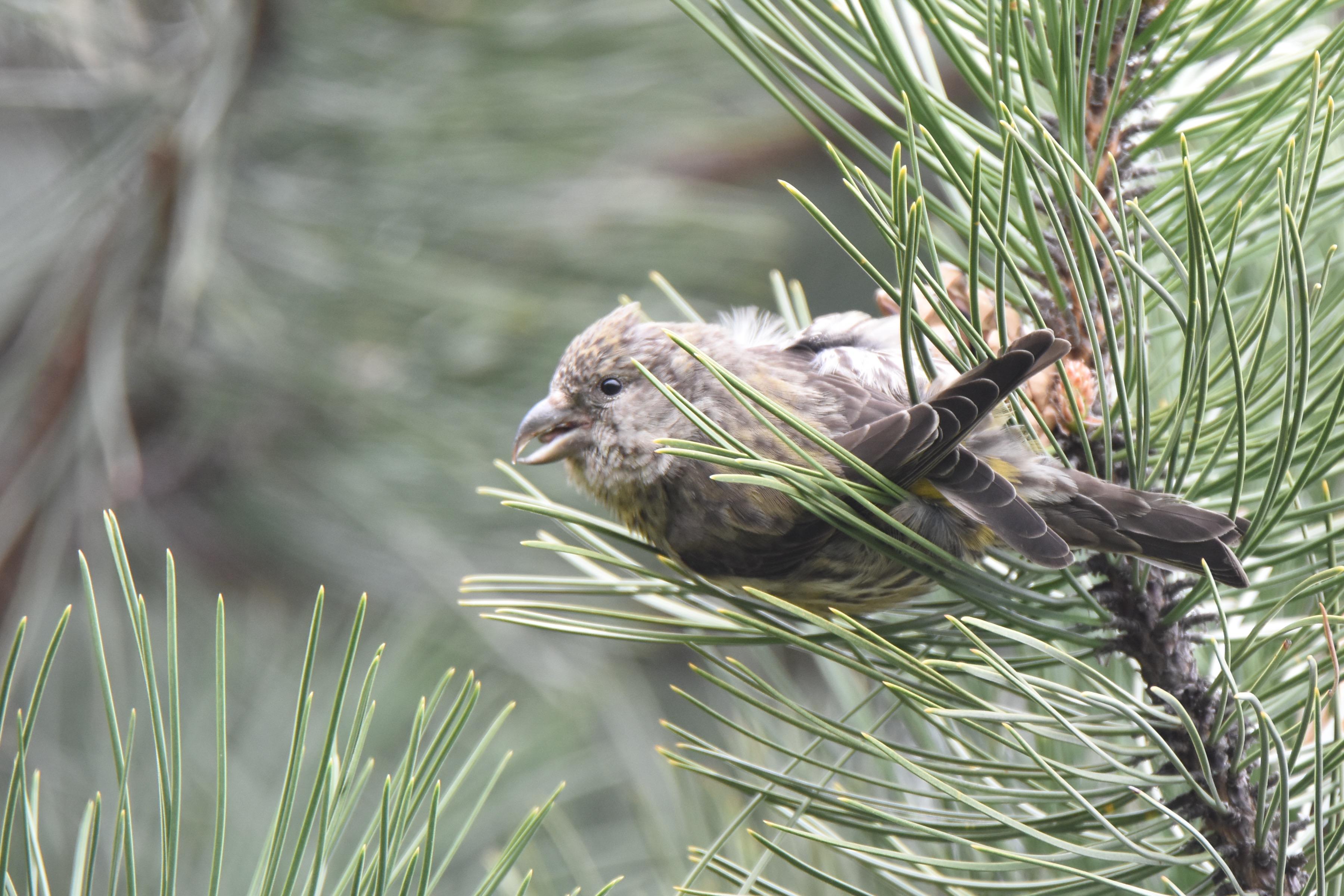 イスカ 幼鳥