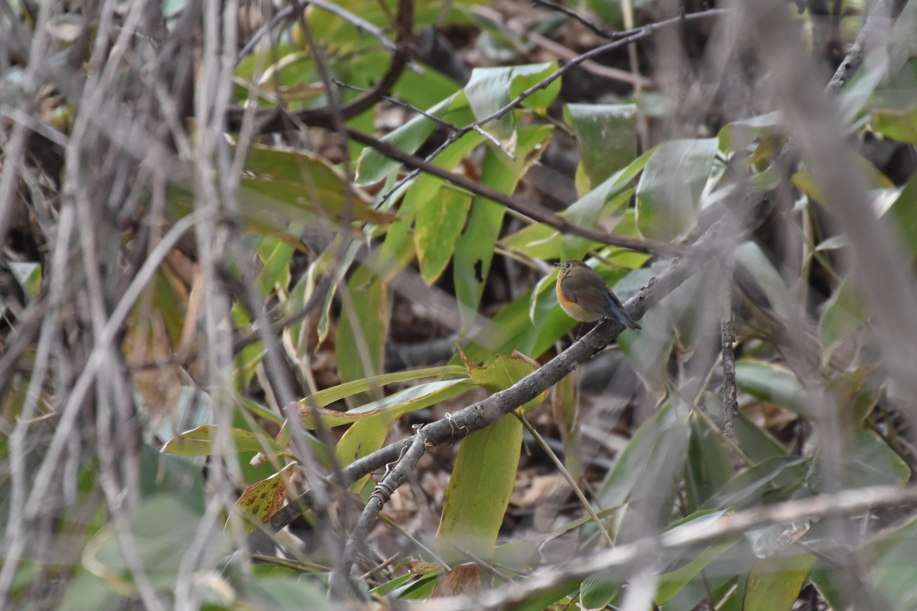 ルリビタキ雌タイプ3