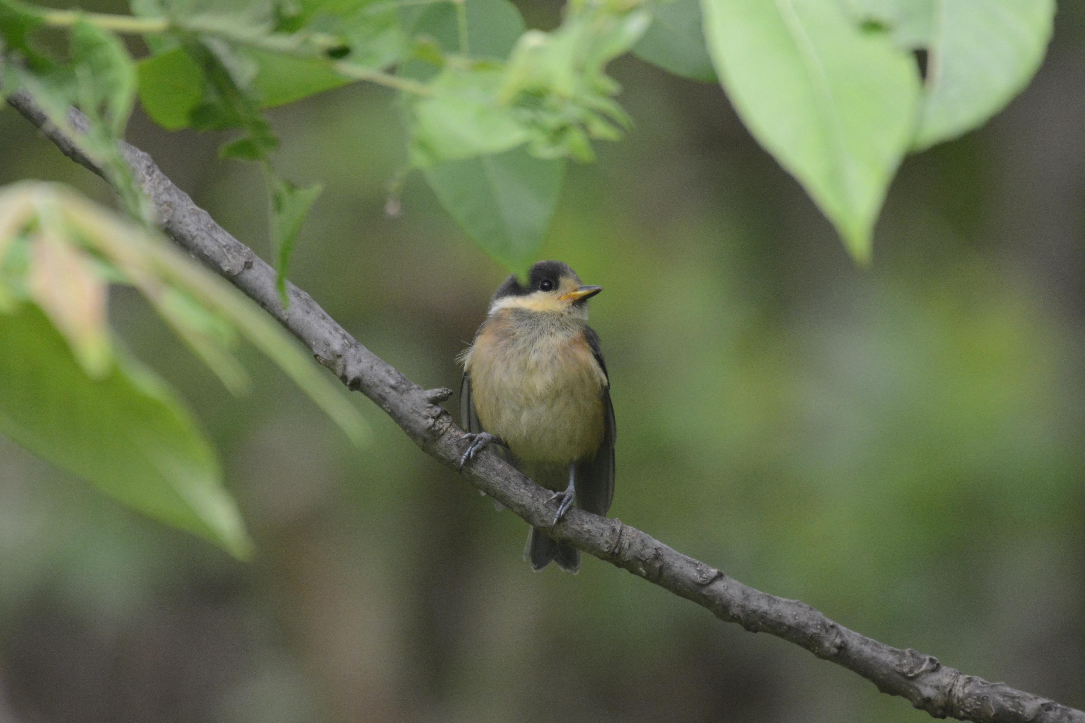 ヤマガラ 幼鳥
