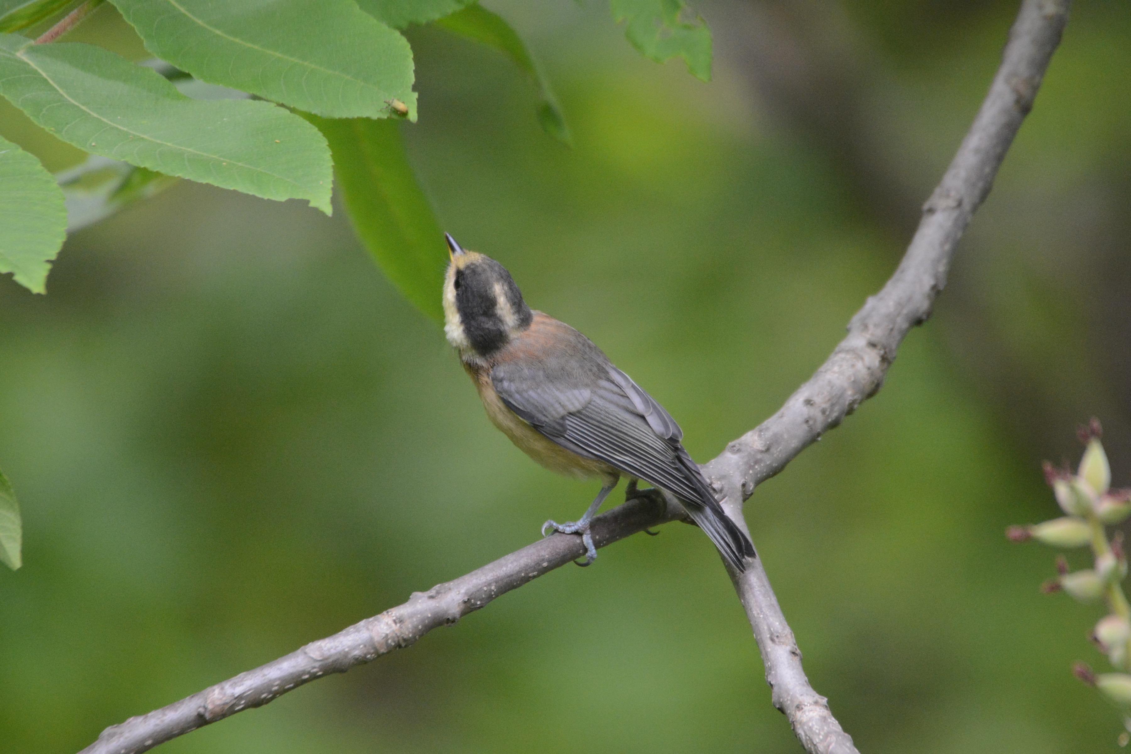 自分で餌を取るヤマガラ幼鳥2