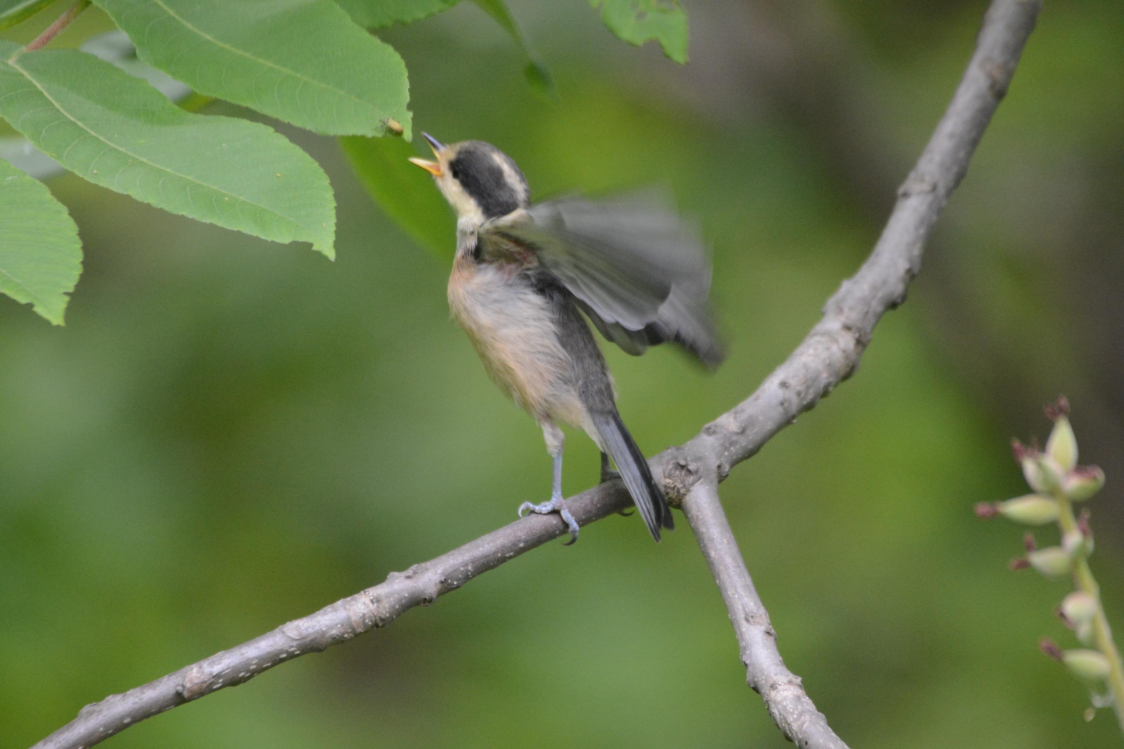 自分で餌を取るヤマガラ幼鳥3