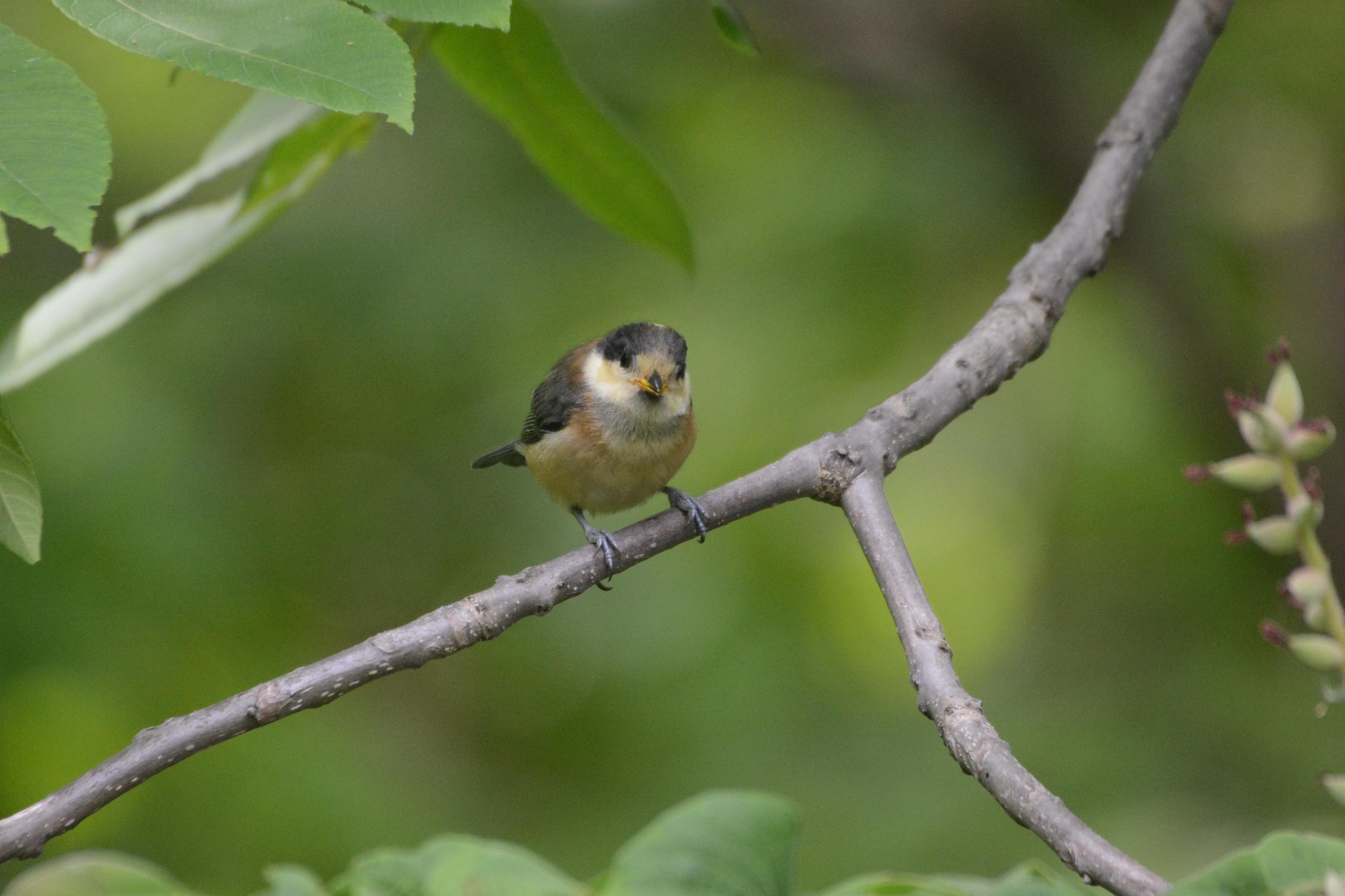 自分で餌を取るヤマガラ幼鳥5