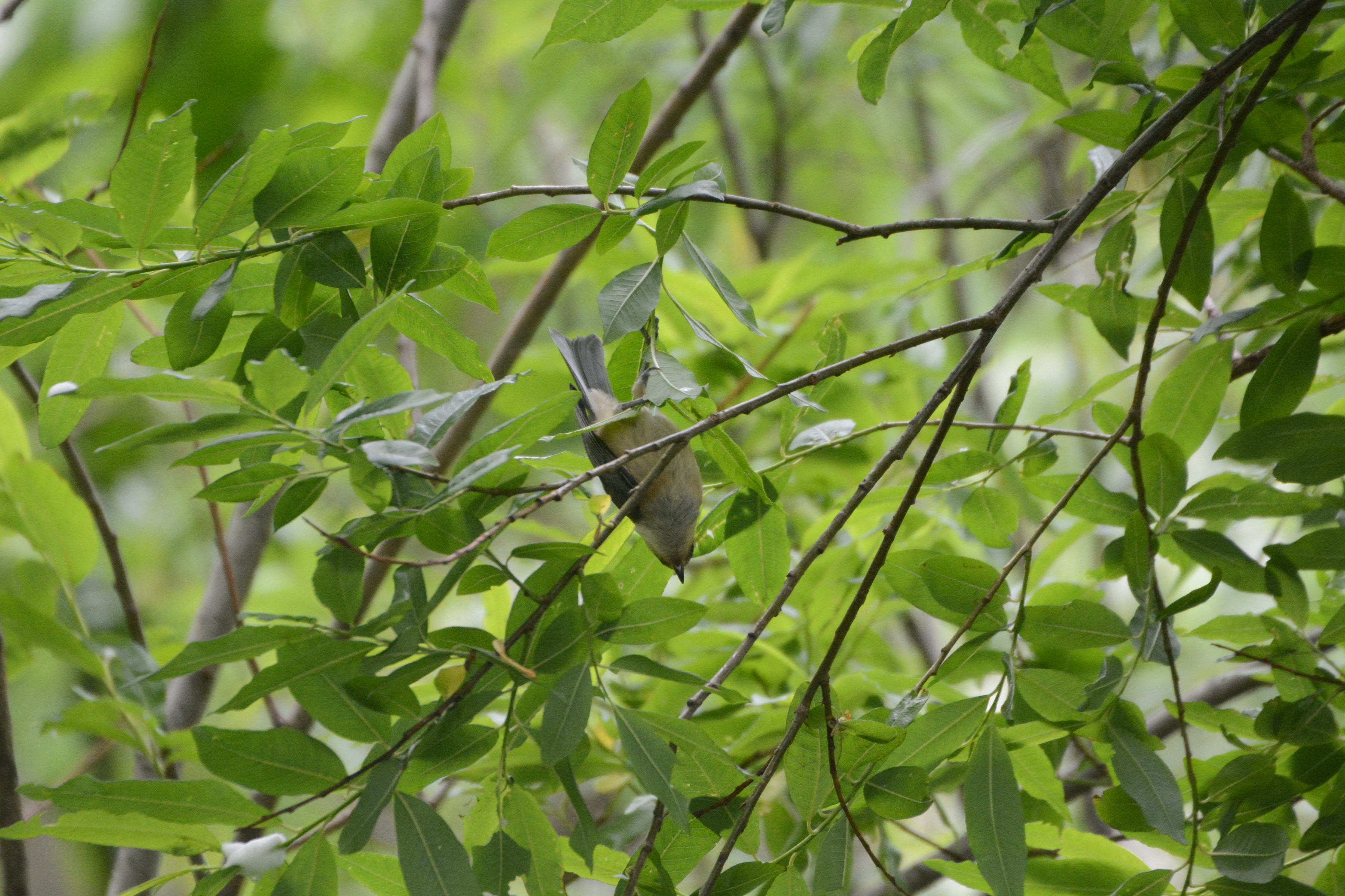 ヤマガラ幼鳥 アクロバット?