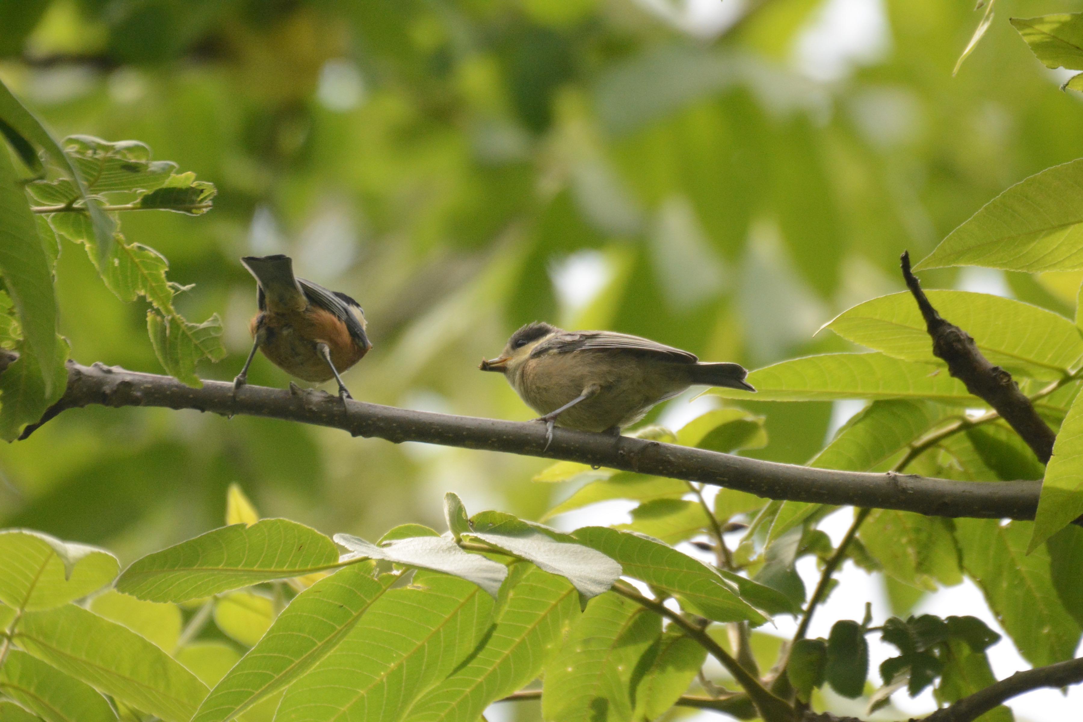 親から餌をもらうヤマガラ幼鳥