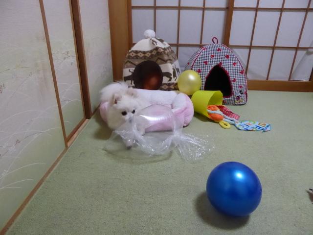 20160330ポンころ部屋遊び③