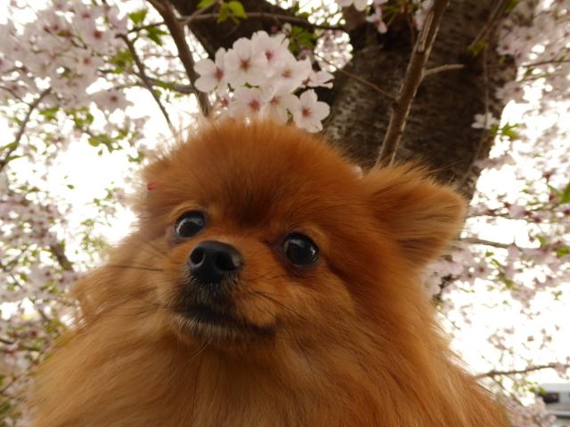 20160409ポンころ桜①