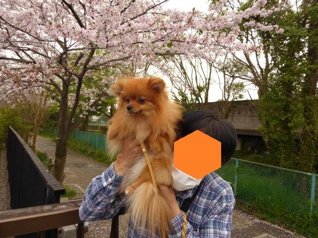 20160409ポンころ桜③