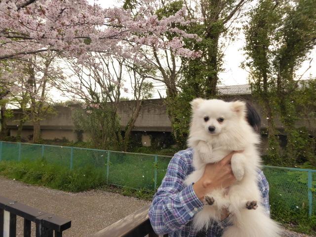 20160409ポンころ桜④