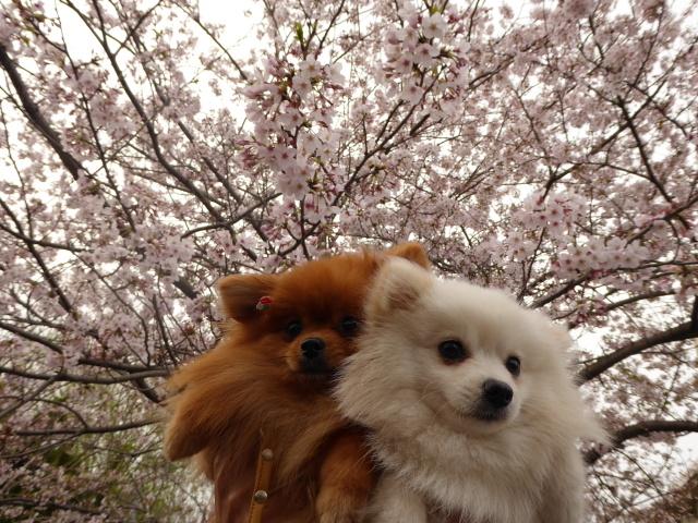 20160409ポンころ桜⑤