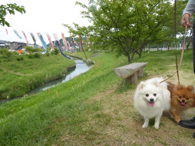 20160503ポンころ鯉のぼり②