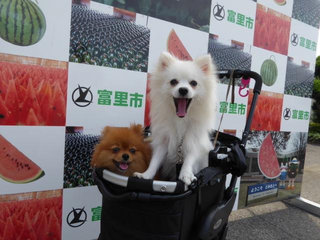 20160619富里スイカ祭り①