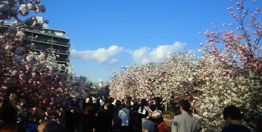 桜の通り抜け造幣局人ごみ