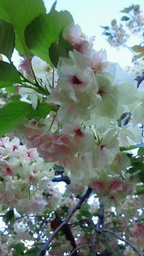 桜のアップ1