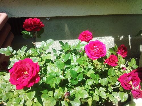 わが家のバラ