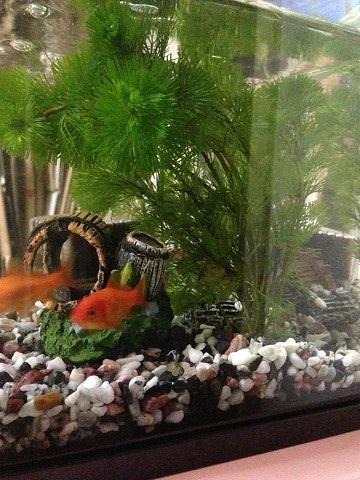 金魚水槽水草2