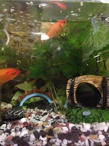 金魚エサやり2