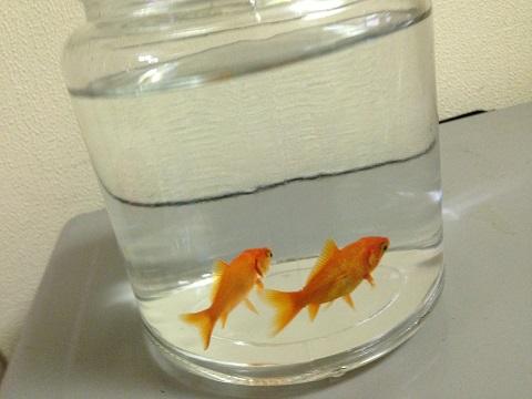 金魚達は別ビンで