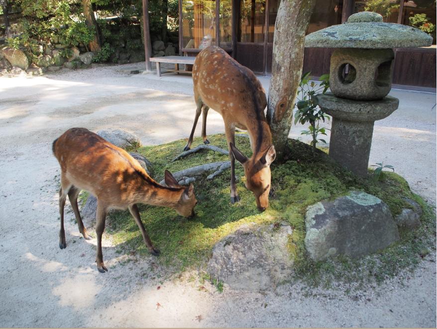 20160810 厳島神社鹿4