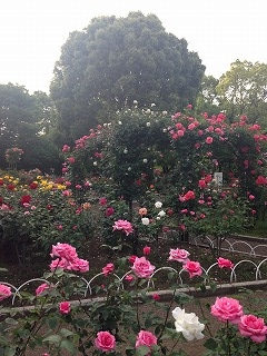 rose2016-2.jpg