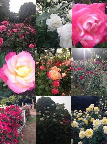 rose2016.png