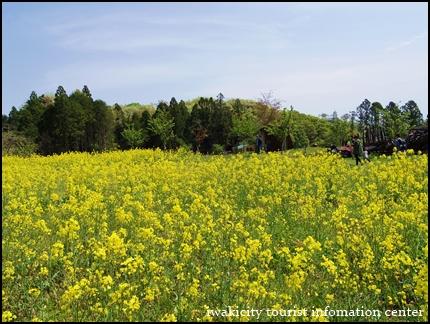 館山の菜の花