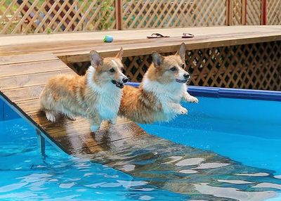 welsh corgi swimming