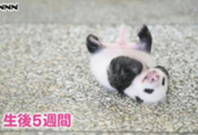 (中国 四川省)ちっちゃくてふわふわ~でも白黒♪映像公開
