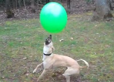 Amazing Ball-Bopping Whippet - 15 Bops for Radish