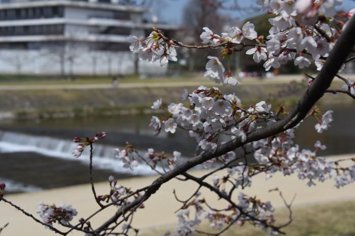 鴨川畔の桜