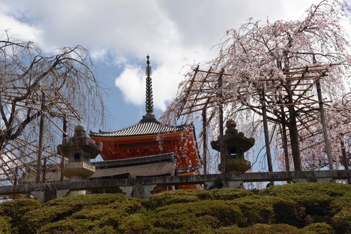 清水寺の枝垂れ桜