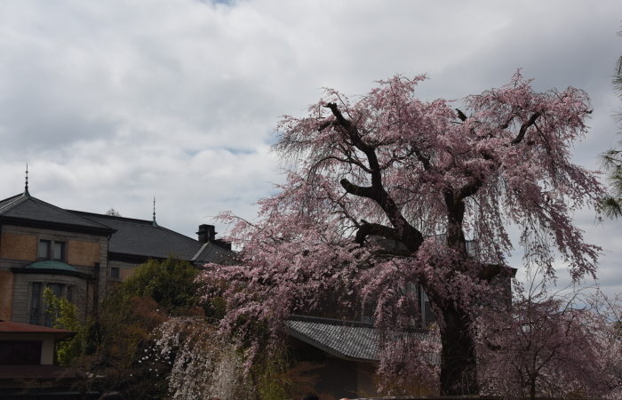 長楽館と枝垂れ桜