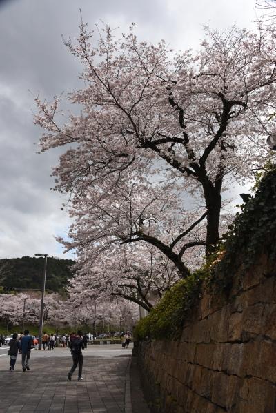 ウエスティン都ホテルの桜