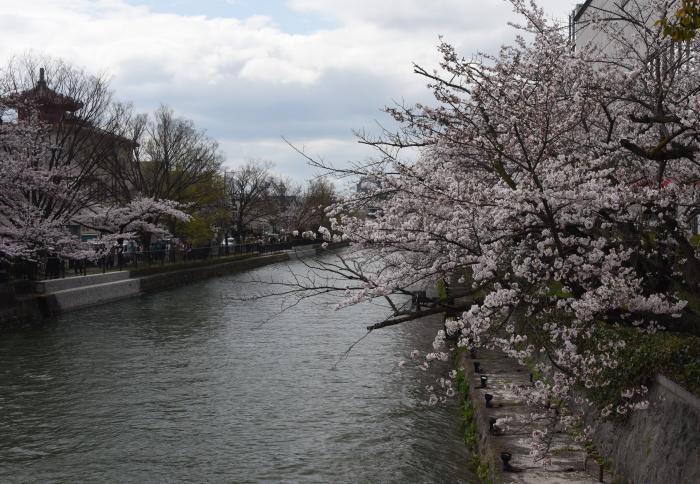 琵琶湖疎水の桜2
