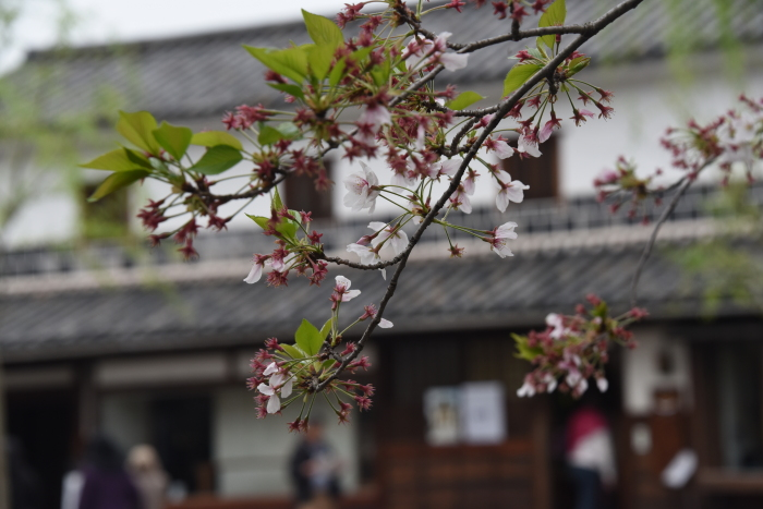 蔵屋敷と桜