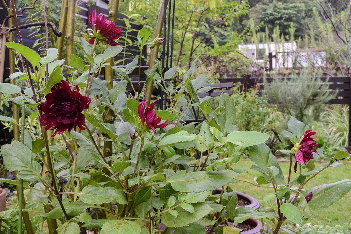 再び咲き始めたダリア黒蝶