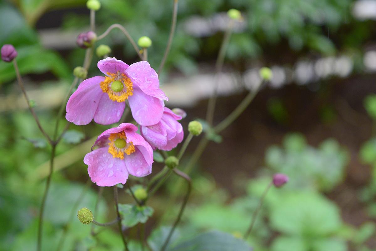 夏からずっと咲いているシュウメイギク